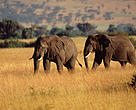 Two African elephants (Loxodonta africana sp.)