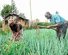 Mr. Jamlek Macharia Gichuki and his wife attends to their kitchen garden at their home in Geta,North Kinangop.