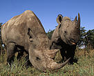 Black Rhinoceros Pair grazing.